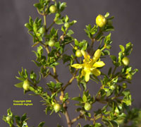 Creosote bush flower